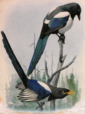 A Painting of Two Species of Magpie Perched on Tree Branches by Louis Agassi Fuertes