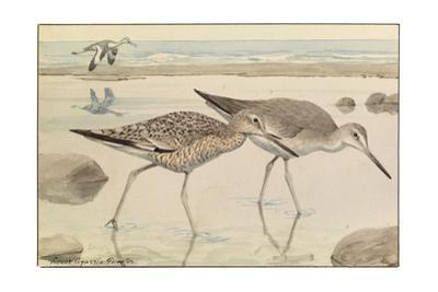 A Painting of Willets in Both Winter and Summer Plumage by Louis Agassi Fuertes