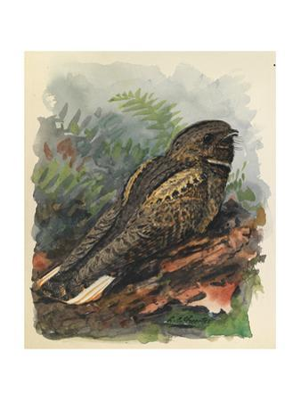 A Whippoorwill Bird Sits on a Wooden Log by Louis Agassi Fuertes