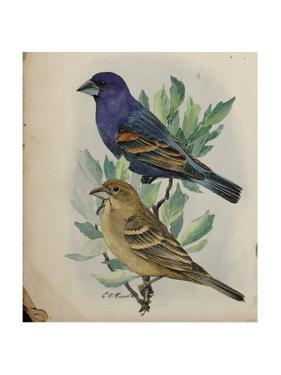 An Illustration of a Male and Female Blue Grosbeak Perched in a Tree by Louis Agassi Fuertes
