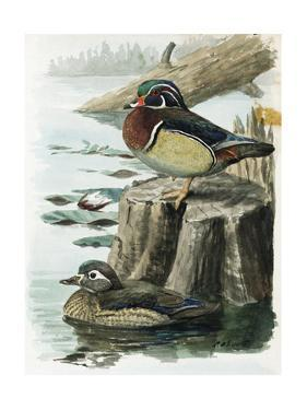 An Illustration of a Male and Female Wood Duck by the Water by Louis Agassi Fuertes