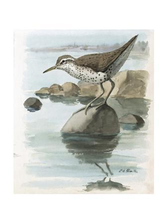 An Illustration of a Spotted Sandpiper Perched on a Rock in Water by Louis Agassi Fuertes