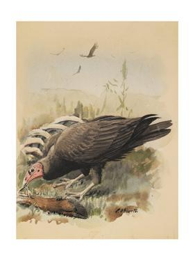 An Illustration of a Turkey Buzzard That Feeds Off an Animal Carcass by Louis Agassi Fuertes