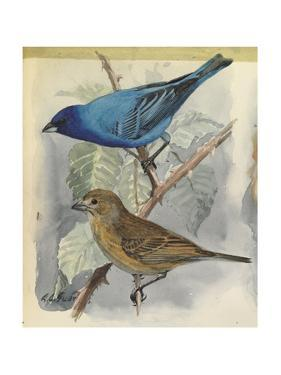 An Illustration of One Male and Female Towhee Perched on a Branch by Louis Agassi Fuertes