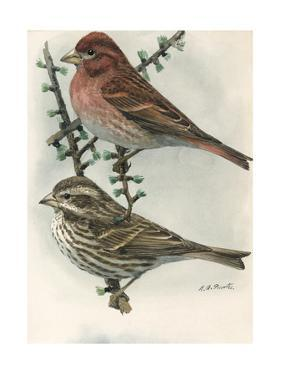 An Illustration of One Male and One Female Purple Finch by Louis Agassi Fuertes