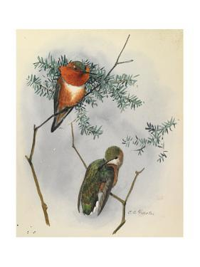 One Male and One Female Rufous Hummingbird Perches on a Branch by Louis Agassi Fuertes