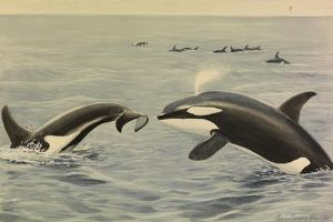 Orcha Whales by Louis Agassi Fuertes