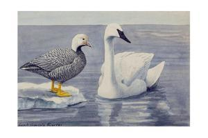 Two Brant Species Stand on a Beach by Louis Agassi Fuertes
