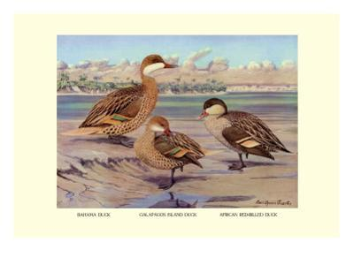 Bahama, Galapagos Island, and African Red-Billed Ducks