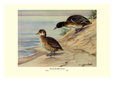 Black-Headed Duck