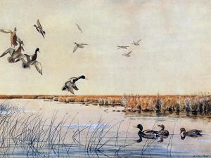 Ducks Landing, 1919 by Louis Agassiz Fuertes