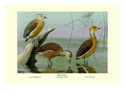 Lesser Whistling Teal, Wandering Tree Duck, and Fulvous Tree Duck