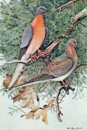 Pair of Passenger Pigeons, 1906