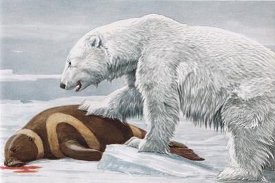 Ribbon Seal, Victim to a Polar Bear