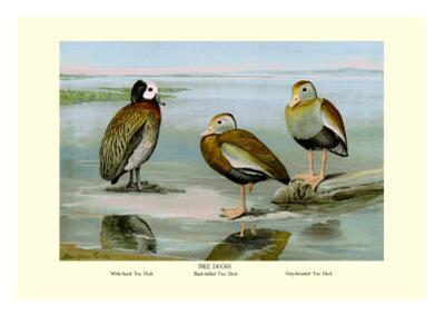 White-Faced, Black-Bellied and Gray-Breasted Tree Ducks