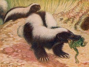 Animals, Skunk 1909 by Louis Sargent