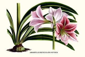 Amaryllis Reticulata Vittata by Louis Van Houtte