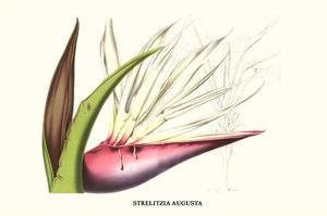Bird of Paradise Flower by Louis Van Houtte