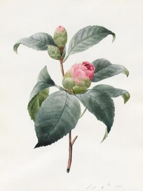 Camellia, 1826 by Louise D'Orleans