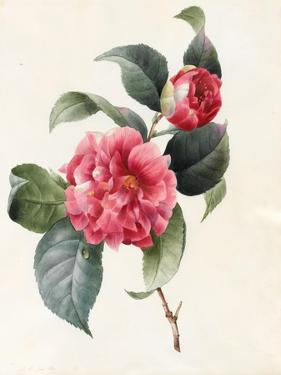 Camellia, 1827 by Louise D'Orleans