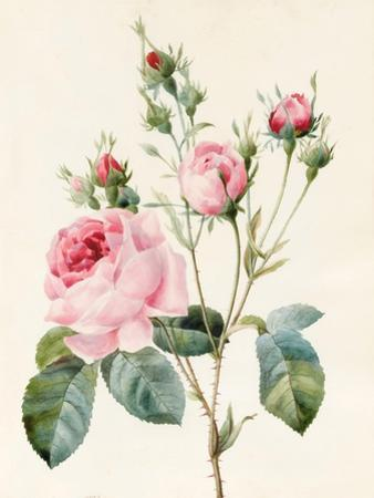 Pink Rose and Buds, 1832 by Louise D'Orleans