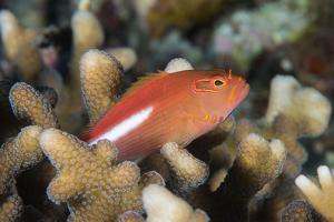 Arc-Eye Hawkfish (Paracirrhites Arcatus), Matangi Island, Vanua Levu, Fiji, Pacific by Louise Murray
