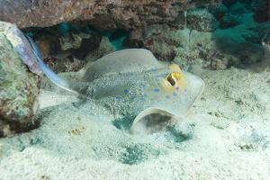 Blue Spotted Ribbontail Ray (Taeniura Lemma) Feed on Small Creatures under the Sand in the Red Sea by Louise Murray