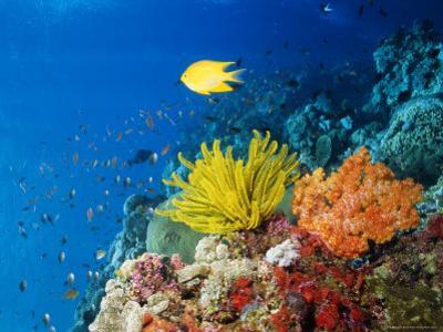 Colourful Crinoids and Solt Corals at Hanging Gardens, Sipadan Island, Sabah, Malaysia