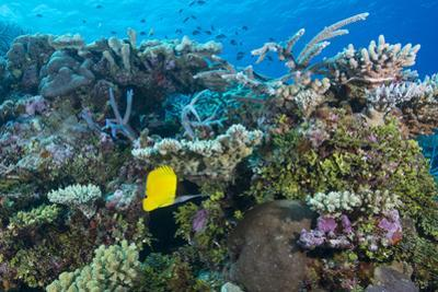 Colourful Healthy Hard and Soft Coral Reef with Long Nosed Butterflyfish (Forcipiger Flavissimus)