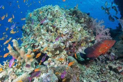 Colourful Reef Fish and Leopard Coral Grouper, Queensland, Australia