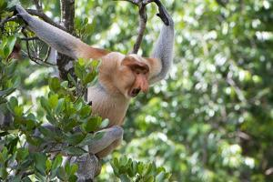 Dominant Male Proboscis Monkey (Nasalis Larvatus) by Louise Murray