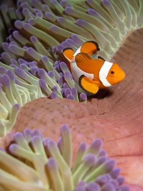 False Clown Anenomefish (Amphiprion Ocellaris) in the Tentacles of its Host Anenome by Louise Murray