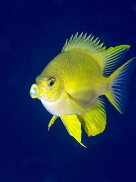Golden Damselfish (Amblyglyphidodon Aureus) a Zoo Plankton Feeding Coral Reef Fish by Louise Murray