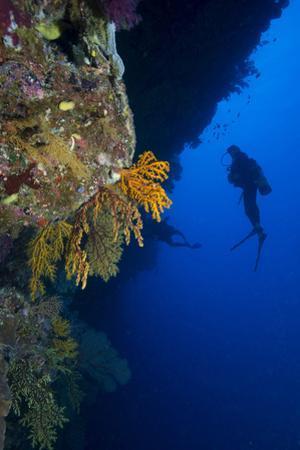 Gorgonian Sea Fans (Subergorgia Mollis) with Diver, Queensland, Australia, Pacific