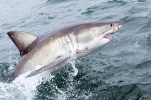 Great White Shark (Carcharodon Carcharias) at the Surface at Kleinbaai in the Western Cape by Louise Murray