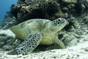 Green Sea Turtles (Chelonia Mydas) Common around Pom Pom Island by Louise Murray