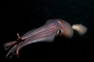 Humboldt (Jumbo) Squid (Dosidicus Gigas) Swimming at Night by Louise Murray