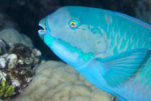 Indian Steephead Parrotfish (Scarus Strongycephalus), Beak Open Feeding, Queensland, Australia by Louise Murray