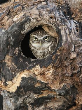 Little Owl in a Hole in a Hollow Tree (Athene Noctua), Europe by Louise Murray