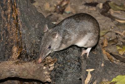 Long-Nosed Potaroo (Potorous Tridactylus) a Small Rodent Like Marsupial