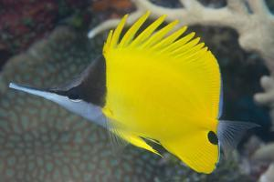 Longnose Butterflyfish (Forcipiger Flavissimus) by Louise Murray