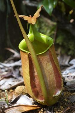 Lower Pitcher of the Carnivorous Pitcher Plant (Nepenthes Bicalcarata) Endemic to Borneo by Louise Murray