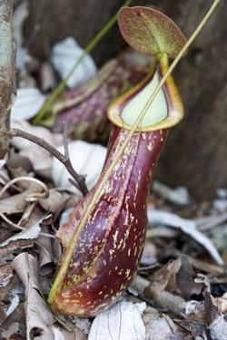 Lower Pitcher of the Carnivorous Pitcher Plant (Nepenthes Rafflesiana) by Louise Murray