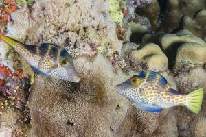 Mating Display by Pair of Wire-Net Filefish (Cantherhines Paradalis), Queensland, Australia by Louise Murray