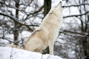 North American Timber Wolf, Canis Lupus Howling in the Snow in Deciduous Forest by Louise Murray