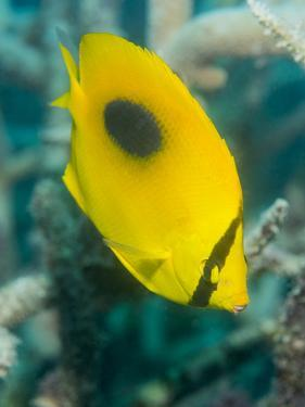 Ovalspot Butterflyfish (Chaetodon Speculum), Cairns, Queensland, Australia, Pacific by Louise Murray