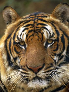 Portrait of an Indo Chinese Tiger, Tiger Sanctuary, Khao Pardap Chan, Thailand by Louise Murray