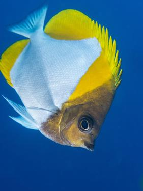Pyramid Butterflyfish (Hemiaurichthys Polylepis), Queensland, Australia, Pacific by Louise Murray