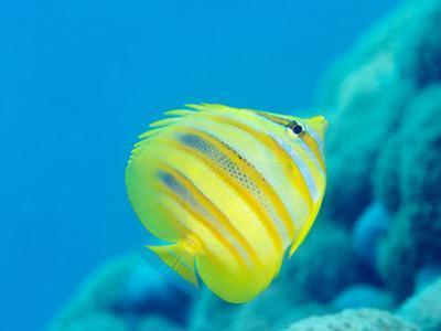 Rainford's Butterflyfish (Chaetodon Rainfordi), Cairns, Queensland, Australia, Pacific