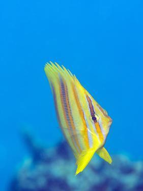 Rainford's Butterflyfish (Chaetodon Rainfordi), Cairns, Queensland, Australia, Pacific by Louise Murray
